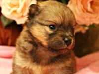 We have available Teacup Pomchi puppies Male and