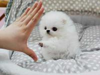 they are Cute Baby Face Teacup standard toy pom pups