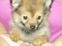 Adorable Tiny Teacup Pomeranian Puppies. I have two