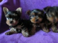Adorable Teacup-Sized Yorkshire Terrier Puppies They
