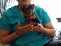 PRECIOUS CKC REGISTERED, ONE MALE YORKIE 13 WEEKS OLD