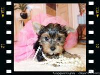 Gorgeous Teacup Black & Tan Yorkies 2 Tiny Girls