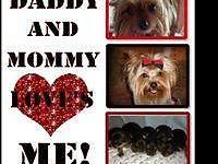 Lovely teacup yorkshire terriers. They are from