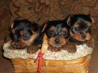 Gorgeous teacup yorkshire terriers. They are from