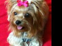 ***3 TEACUP YORKIES FOR SALE*** -2 males, 1 female