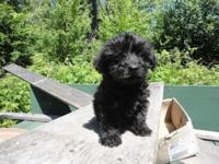Adorable little teacup Yorkiepoo Puppy. He is 8 weeks
