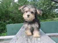 Cutiest little YorkiePoo puppy She is 13 weeks old and