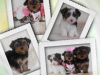 Lovable Teacup Yorkies Ready Now! (Hypo-Allergenic).