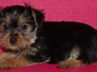 Lovable teacup Yorkshire terrier puppies! First Shots,