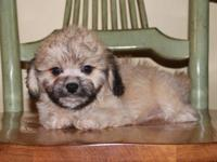 Price Reduced!! We have an Adorable litter of Teddy
