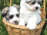 Adorable Teddy Bear Puppies: 3 males, hypoallergenic,