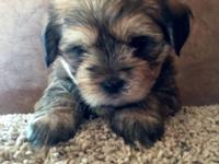 Six adorable, playful and cuddly male puppies for sale.