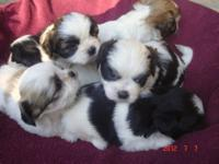 I have just a wonderful litter of Bichon/Shih-tzu pups