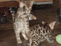 We now have available adorable TICA Bengal Kittens for