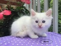 Merlin-Male-Cream Bi-Color Ragdoll, Raven-Female-Blue