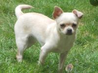 Chloe is a really lovely chihuahua,1.5 years of ages,