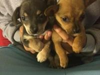 I have two adorable small chihuahuas. one is brown and
