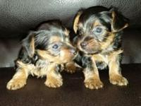 Hey I have 6 adorable yorkie young puppies looking for