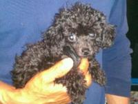 FOR A POODLE THIS IS A REAL TINY TEACUP POODLE,