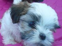 Little Lulu is a special, small female Maltipoo with