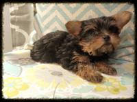 I have a female registered Yorkshire Terrier, she is