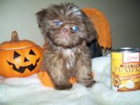 Adorable AKC shih tzu puppies. Champion pedigree. Tiny