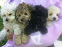 We have four adorable, tiny Maltipoo puppies. 8 weeks