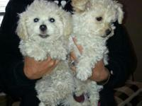 We have two charming tiny Maltipoo Puppies looking for