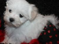 Designer Maltipoo's These beautiful and most lovable