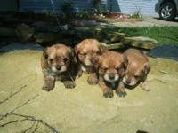 We have 4 Morkanese young puppies. These sweet little