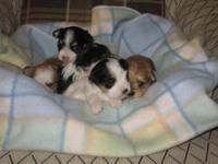 We have beautiful Morkie puppies available for
