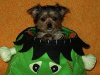 Adorable tiny Morkie female puppy is ready for her