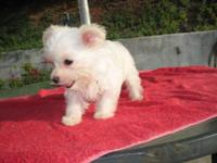 very tiny compact puppy D.O.B 5/25/2015  second shots &