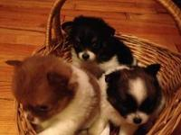 I have 3 little Pom-chi pups. 2 males and 1 female.