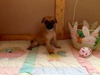 Adorable small Puggle new puppies ready for a