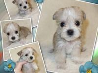 "Teacup Yorkie + Maltese=""Morkie"" Designer Puppies Ready"