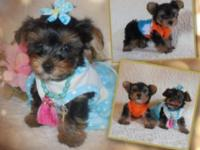 Adorable Teacup Yorkies Rare Delicious chocolate