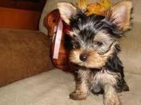Adorable tiny Teacup Yorkies (Female/Male) (863)