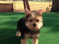 BIG SALE ON 4 TINY TOY YORKIE PUPPIES 3 FEMALES 1 MALE
