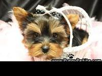 Our Yorkie puppies are adorable. We have toy and teacup