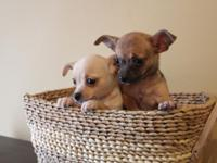 We have three lovable toy Chihuahuas. They were born