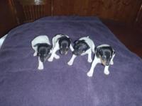 Sugary food Plaything Fox Terrier Puppies born
