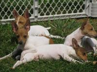 I have 5 cute male Toy Fox Terrier kind young puppies.