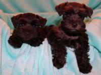 Chocolate Miniature Schnauzer Puppies, AKC, Gorgeous,