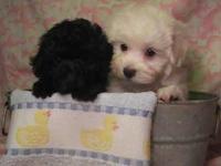 Toy Panda Bear young puppies. Adorable cuties,