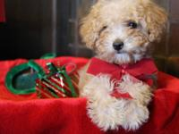 We have a darling female toy poodle puppy ready for