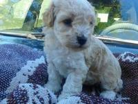 Hello everyone I have one male toy poodle apricot cream