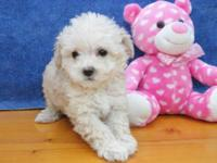 THESE ADORABLE TOY POODLES PUPPIES ARE READY FOR