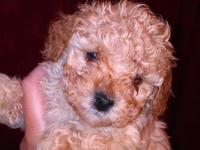 Adorable toy poodle puppies. Hypoallergenic. Bon-shed.