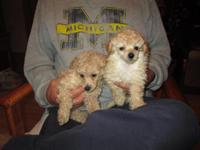 Adorable Toy Poodles, 8 weeks old, 1st shots and